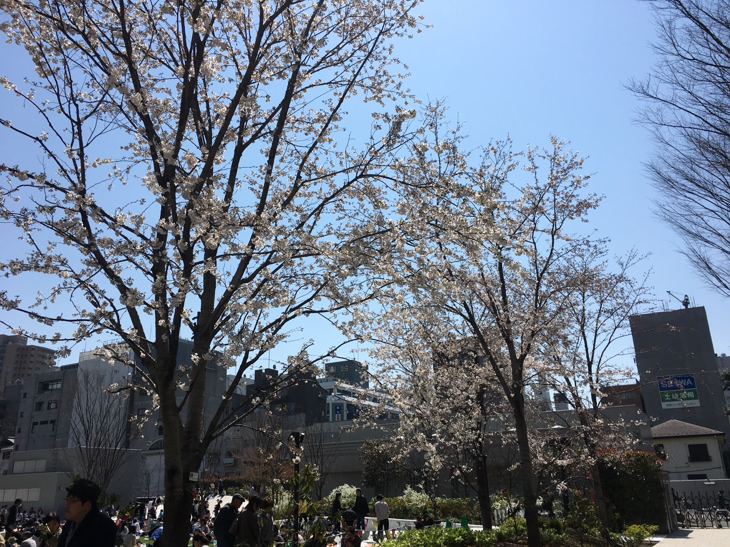 【池袋駅】春爛漫!公園まわって桜を見に行こう!池袋東口の満開公園お花見散歩コース。の南池袋公園3