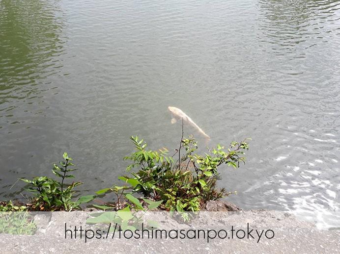 【駒込駅】歴史を学ぶいい日にしよう。和歌山市を模した江戸時代の庭園「六義園」で涼をとろう。の六義園の渡月橋の下の鯉2