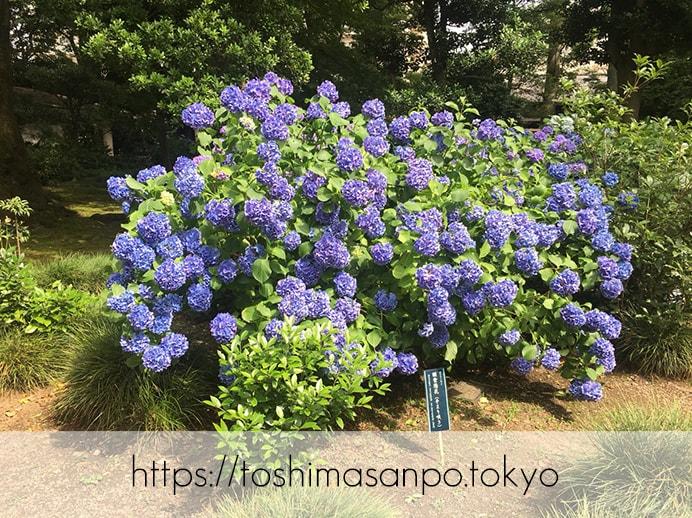 【駒込駅】歴史を学ぶいい日にしよう。和歌山市を模した江戸時代の庭園「六義園」で涼をとろう。の六義園のアジサイ2