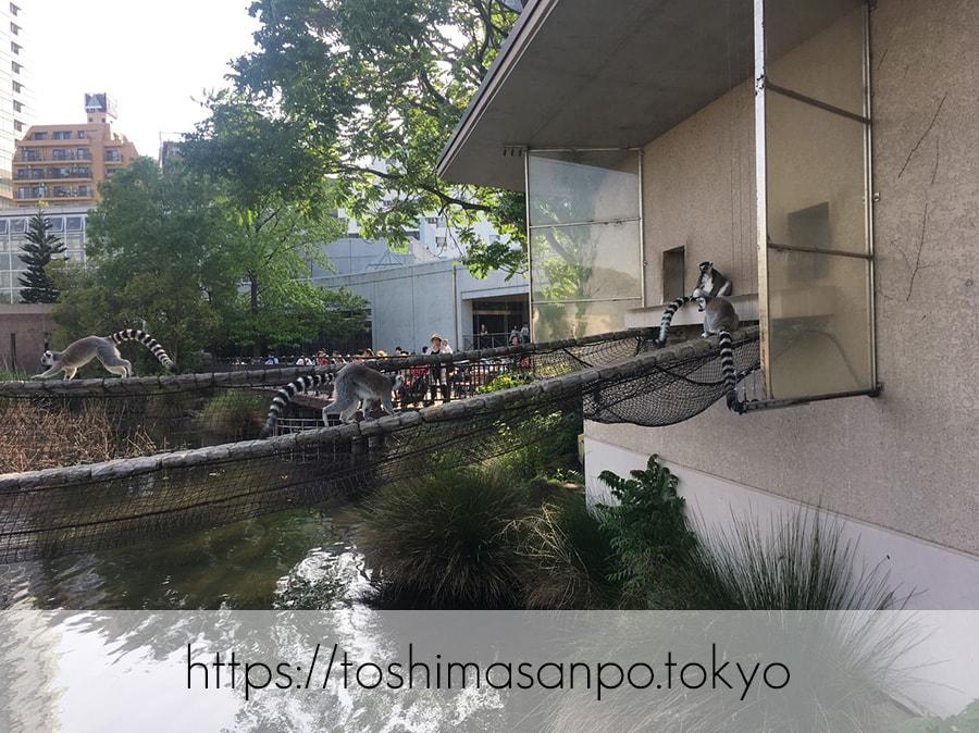 【上野駅】高速上野散歩を提案!大満足の絶品洋食「たいめいけん」のあとに上野動物園で超エンジョイの上野動物園のワオキツネザル2